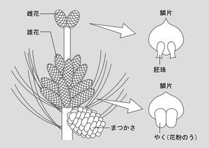 裸子植物 松 図のイラスト素材 [FYI01168728]