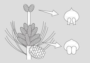 裸子植物 松 図のイラスト素材 [FYI01168729]