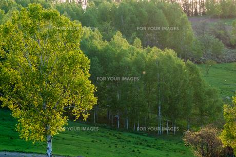 初夏のシラカバの木の写真素材 [FYI01168882]