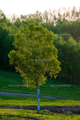 初夏のシラカバの木の写真素材 [FYI01168883]