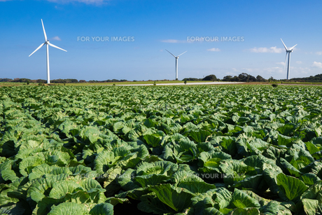 銚子市郊外の台地に広がるキャベツ畑と風力発電の風車の写真素材 [FYI01168906]