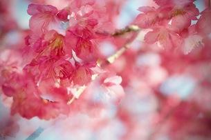 桜 夢 淡い 春 空 パステル cherry blossoms  幻想的 の写真素材 [FYI01169248]