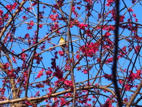梅とウグイスの写真素材 [FYI01169404]
