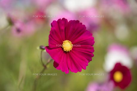 赤いコスモスの花の写真素材 [FYI01169480]