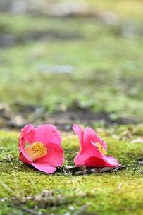 地面に落ちた椿の花の写真素材 [FYI01169700]