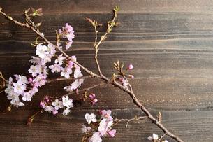 桜の枝 黒木材背景の写真素材 [FYI01169905]