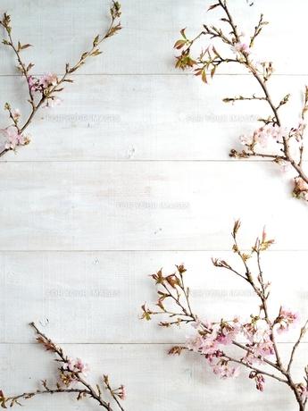 桜の枝 白木材背景の写真素材 [FYI01169906]