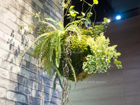 インテリア 観葉植物の写真素材 [FYI01170000]