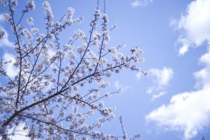 青空とソメイヨシノの写真素材 [FYI01170039]