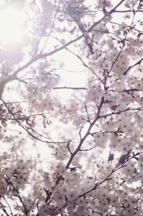 逆光のノスタルジーな桜の写真素材 [FYI01170040]