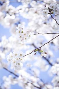 晴天の中に咲く桜の写真素材 [FYI01170041]