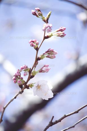 咲きだしたばかりの桜とつぼみの写真素材 [FYI01170042]
