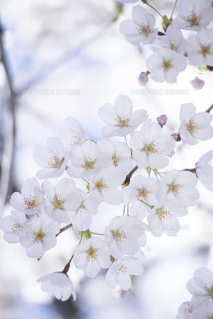 満開の桜の写真素材 [FYI01170043]