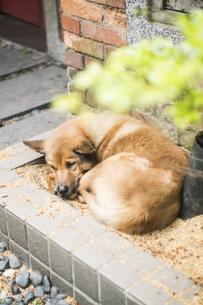 眠る犬  通り 風景 路地 海外 動物 レトロ ブロック レンガ 台湾 九份 旅 旅行 トラベルの写真素材 [FYI01170139]