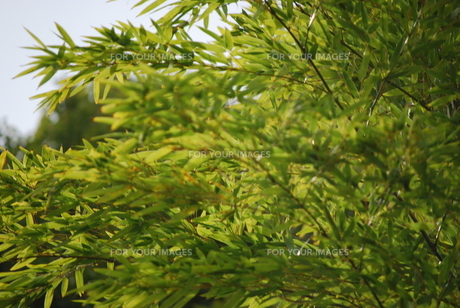 竹林2の写真素材 [FYI01170271]