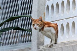 宮古島/団地の飼い猫の写真素材 [FYI01170284]