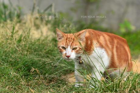 宮古島/団地の飼い猫の写真素材 [FYI01170308]