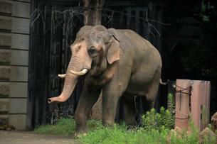 オスのアジア象(全身)の写真素材 [FYI01170460]