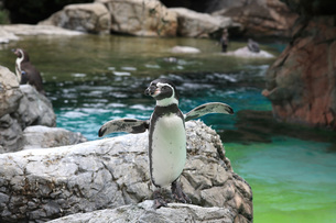 羽を広げたフンボルトペンギンの写真素材 [FYI01170463]