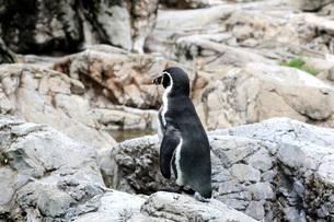 後ろ姿のフンボルトペンギンの写真素材 [FYI01170464]
