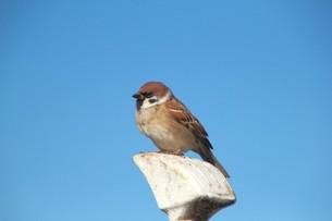 青空を背景に遠くを見つめる雀|スズメの写真素材 [FYI01170477]