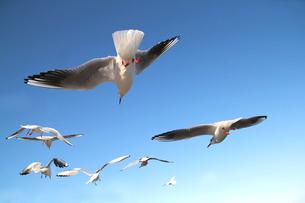 青空を飛翔するカモメの群れの写真素材 [FYI01170480]