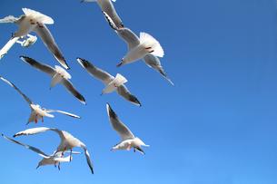 青空を飛翔するカモメの群れの写真素材 [FYI01170481]