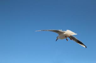 青空を飛翔するカモメの写真素材 [FYI01170483]