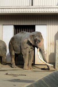 象の全身写真|ゾウの写真素材 [FYI01170485]