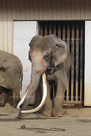 象の横顔のアップ|ゾウの写真素材 [FYI01170486]