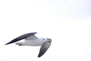 飛翔するカモメ(アップ)の写真素材 [FYI01170489]