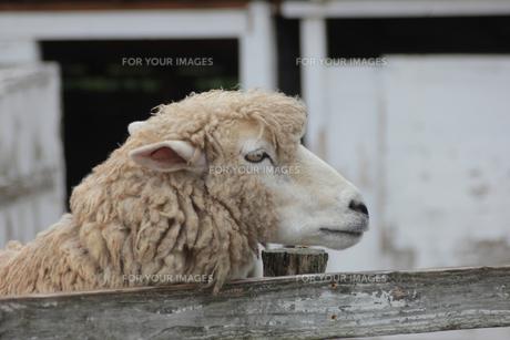羊の顔のアップ ヒツジの写真素材 [FYI01170511]