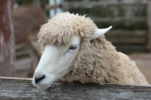 羊の顔のアップ ヒツジの写真素材 [FYI01170512]