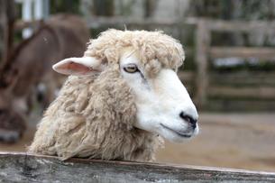羊の顔のアップ ヒツジの写真素材 [FYI01170513]