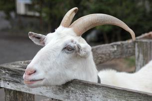 オスの白ヤギ(顔アップ)|シバヤギの写真素材 [FYI01170514]