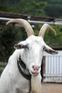 白ヤギ(上半身)|シバヤギの写真素材 [FYI01170515]