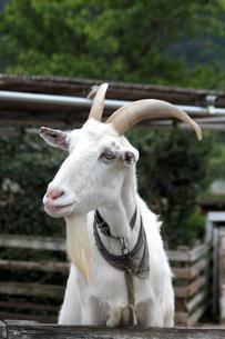 白ヤギ(上半身)|シバヤギの写真素材 [FYI01170516]