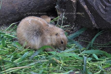 エサを食べるミーアキャット|動物園の写真素材 [FYI01170517]