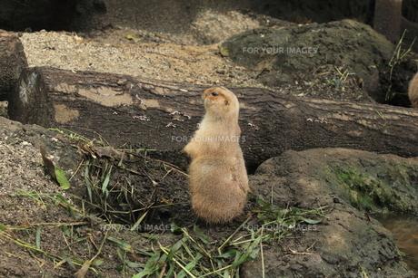 周囲を観察するミーアキャット|動物園の写真素材 [FYI01170518]