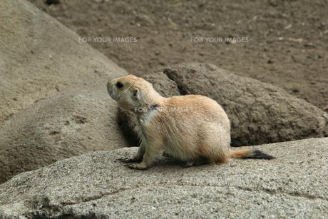 周囲を観察するミーアキャット|動物園の写真素材 [FYI01170520]