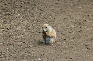 エサを食べるミーアキャット|動物園の写真素材 [FYI01170521]