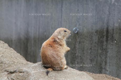 周囲を観察するミーアキャット|動物園の写真素材 [FYI01170522]