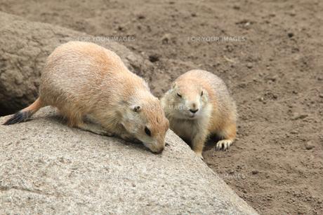二匹のミーアキャット|動物園の写真素材 [FYI01170523]