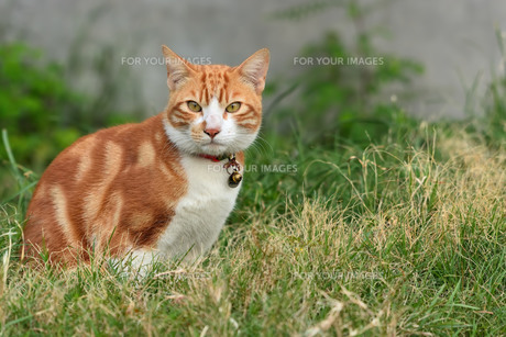 宮古島/団地の飼い猫の写真素材 [FYI01170547]