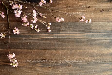 桜の枝 黒木材背景の写真素材 [FYI01170596]