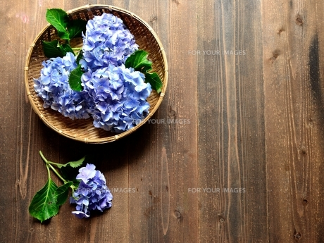 ざるに入れた青色の紫陽花 黒木材背景の写真素材 [FYI01170625]