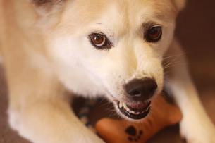 歯を剥いて威嚇する犬の写真素材 [FYI01170628]