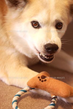 歯を剥いて威嚇する犬の写真素材 [FYI01170630]