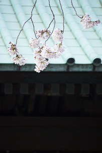 日本の屋根と桜の写真素材 [FYI01170664]