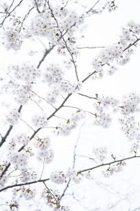 雪のような桜の写真素材 [FYI01170665]